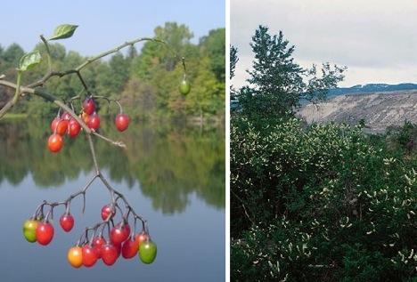 choke-cherries