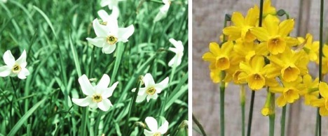 narcissus-flowers