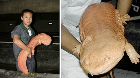 chinese-giant-salamander