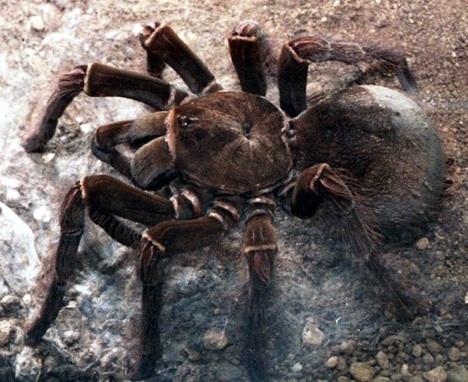 goliath-spider