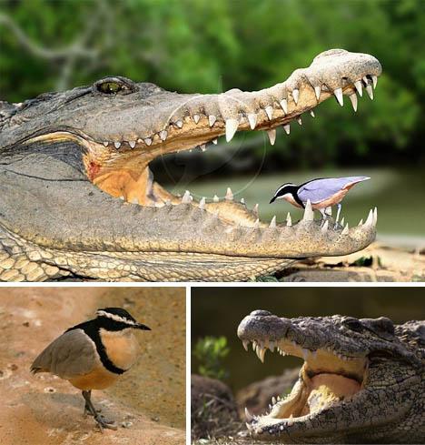 plover-crocodile-symbiosis