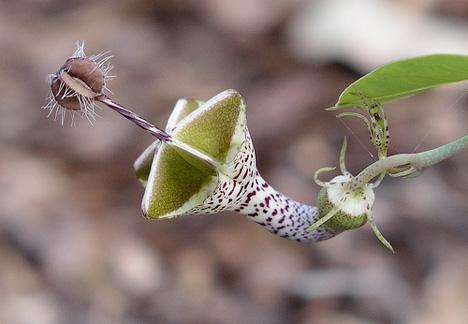 ceropegia-flower