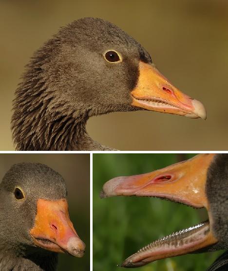 How many bottom teeth does a bird have