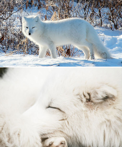 arctic-animals-fox-1