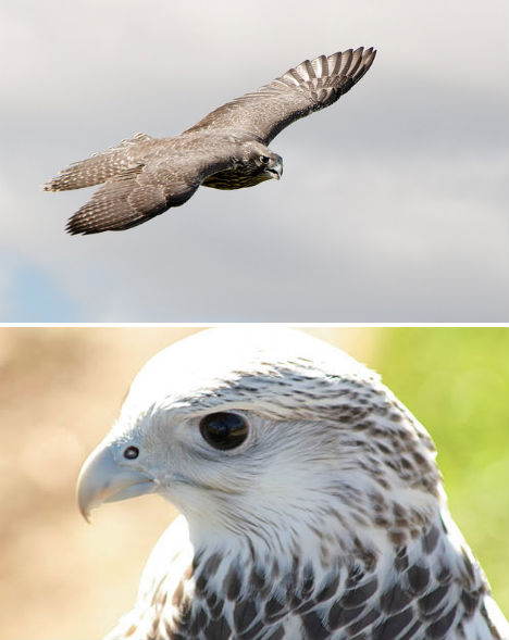 arctic-animals-gyrfalcon-1