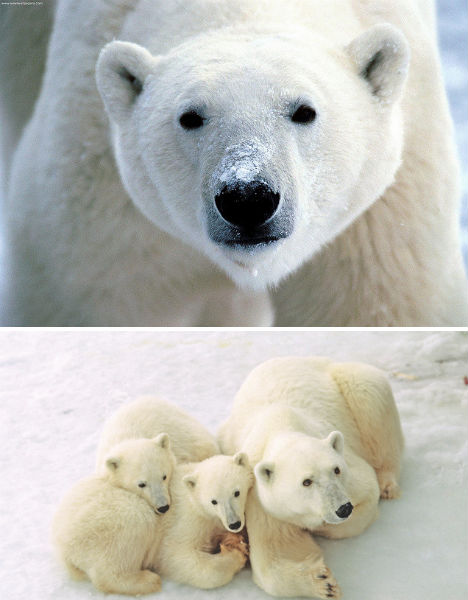 arctic-animals-polar-bears-1