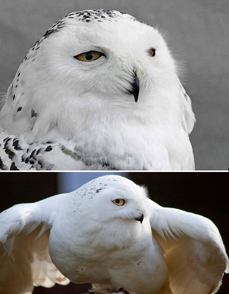 arctic-animals-snowy-owl-2