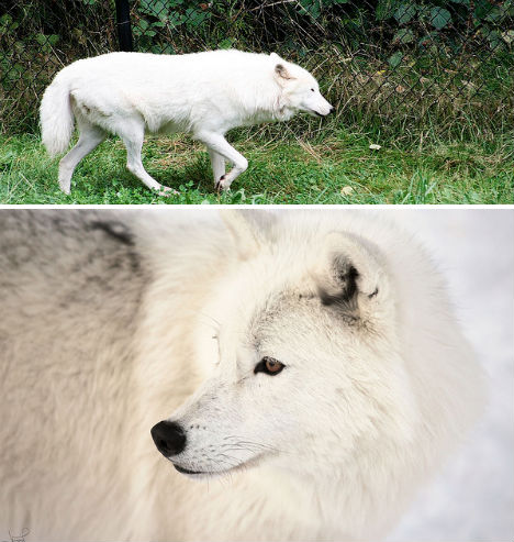 arctic-animals-wolf-1