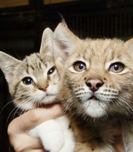 A Tale Of Zoo Kitties: Stray Cat & Lynx Are Now BFFFs