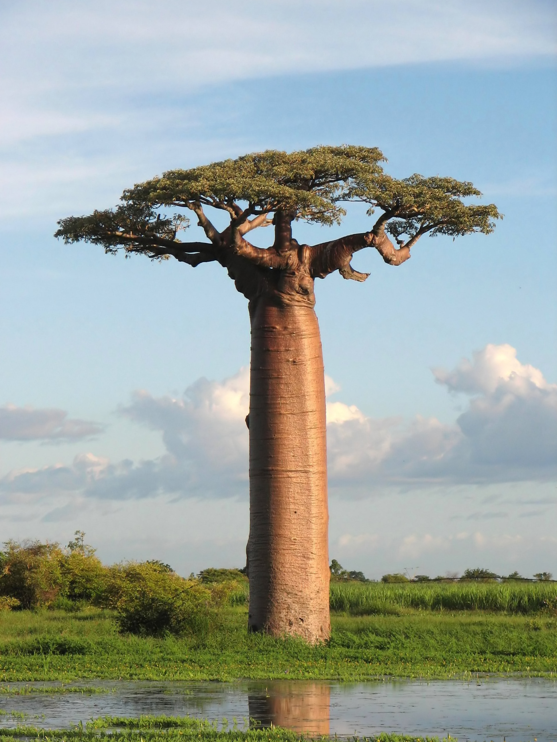 biomimicry baobab tree