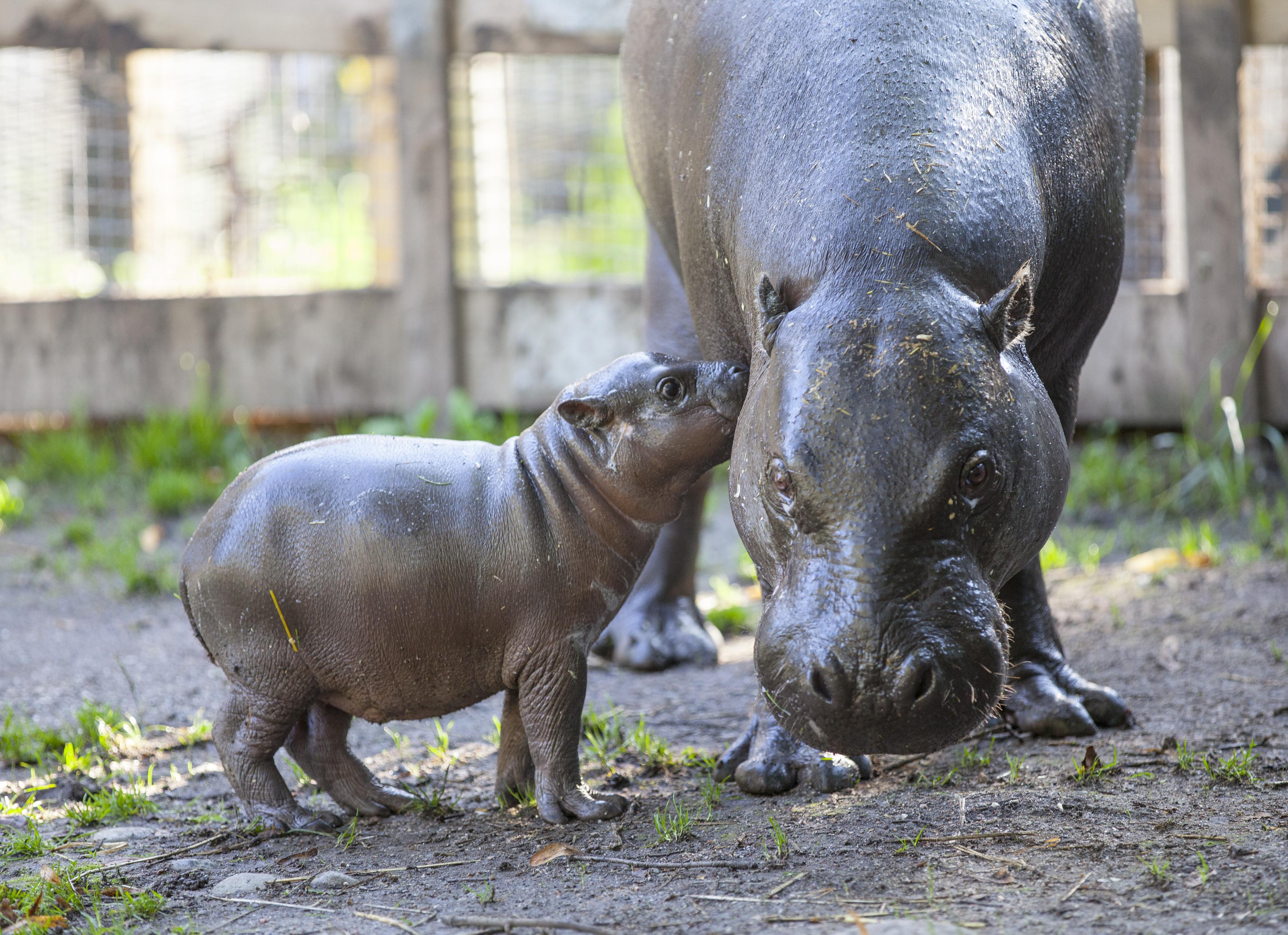 Cute baby Dwarf Hippo arrives at Parken Zoo in Sweden