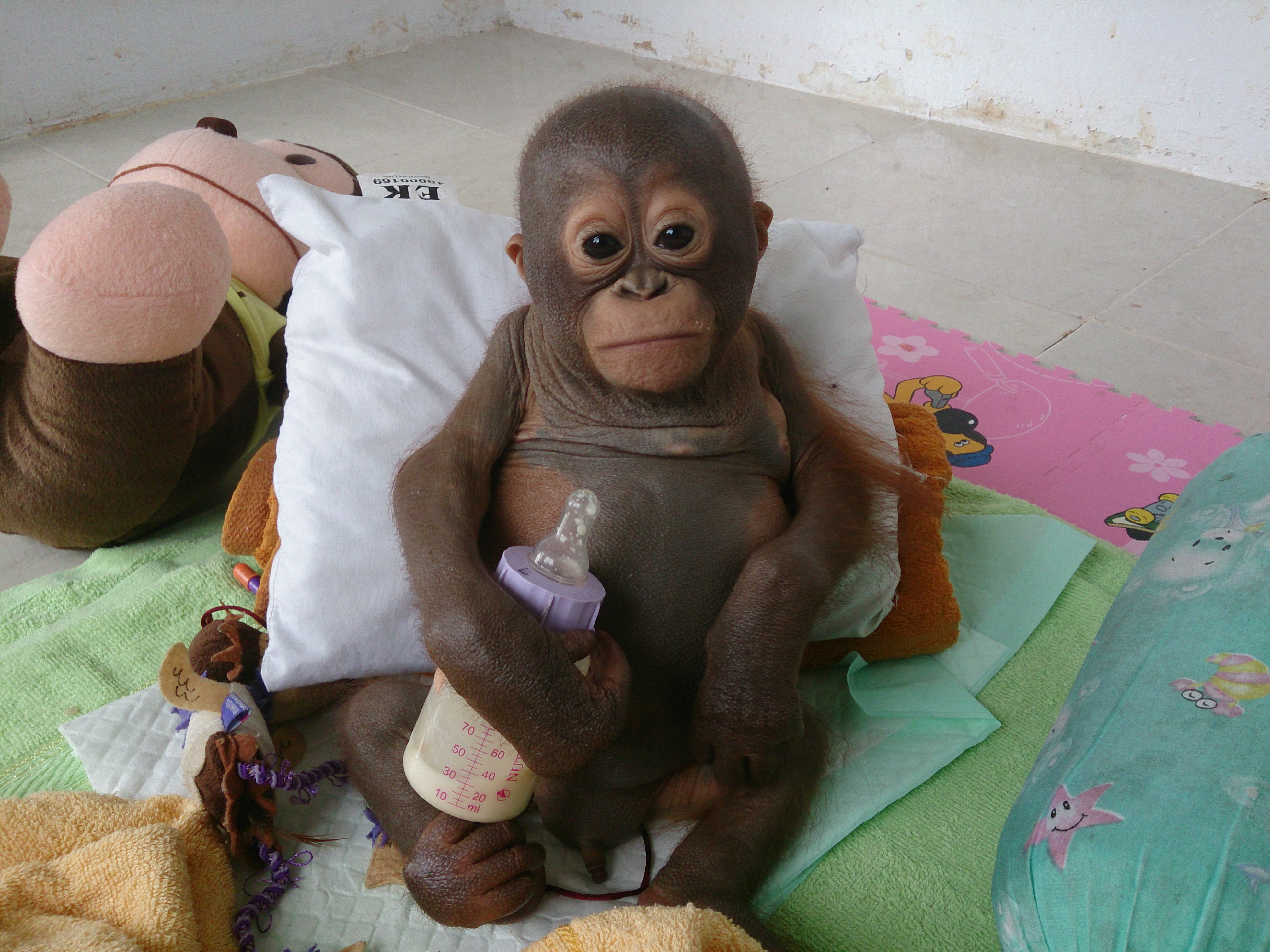 Baby orangutan rescued in Borneo lived in chicken cage and survived on condensed milk...