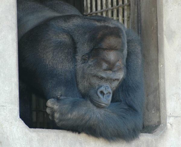 handsome-gorilla-1