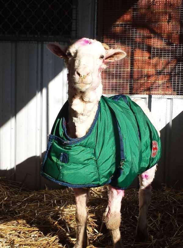 chris-the-sheep-17