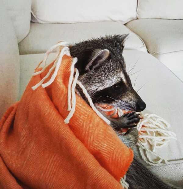 raccoon-12
