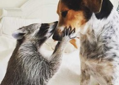 Pumpkin The Raccoon Has Gone To The Dogs!