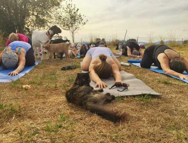 goat-yoga-4