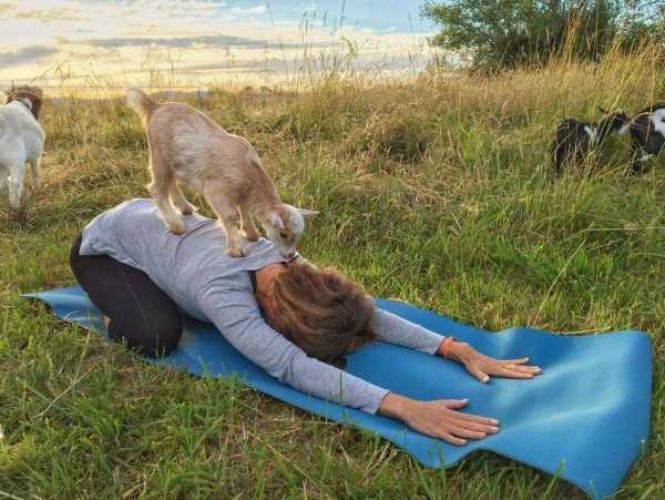 goat-yoga-6